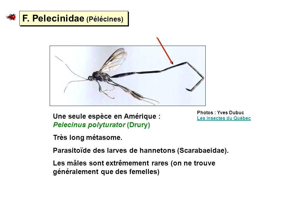 F. Pelecinidae (Pélécines) Une seule espèce en Amérique : Pelecinus polyturator (Drury) Très long métasome. Parasitoïde des larves de hannetons (Scara