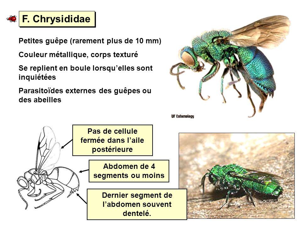 F. Chrysididae Petites guêpe (rarement plus de 10 mm) Couleur métallique, corps texturé Se replient en boule lorsquelles sont inquiétées Parasitoïdes