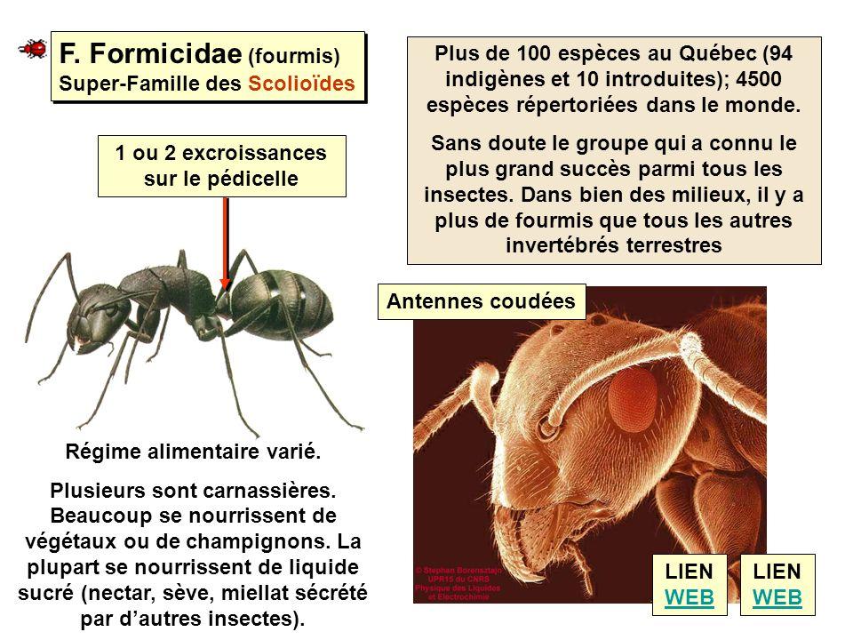 F. Formicidae (fourmis) Super-Famille des Scolioïdes F. Formicidae (fourmis) Super-Famille des Scolioïdes Plus de 100 espèces au Québec (94 indigènes