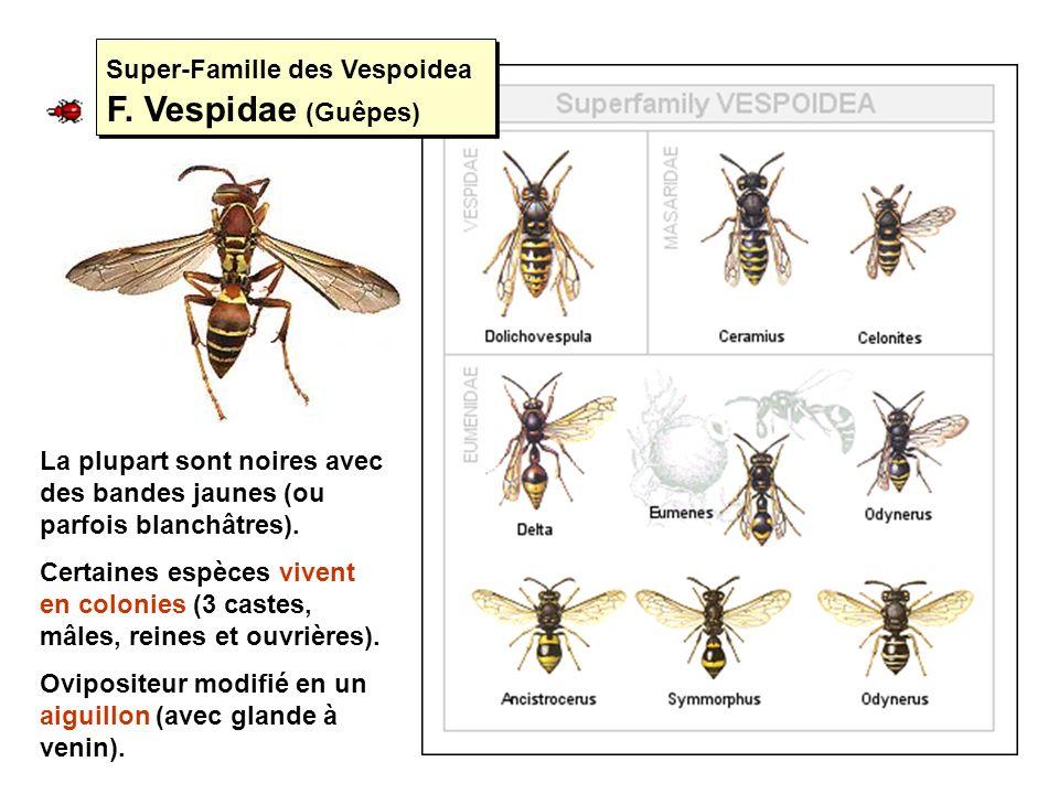 Super-Famille des Vespoidea F. Vespidae (Guêpes) La plupart sont noires avec des bandes jaunes (ou parfois blanchâtres). Certaines espèces vivent en c