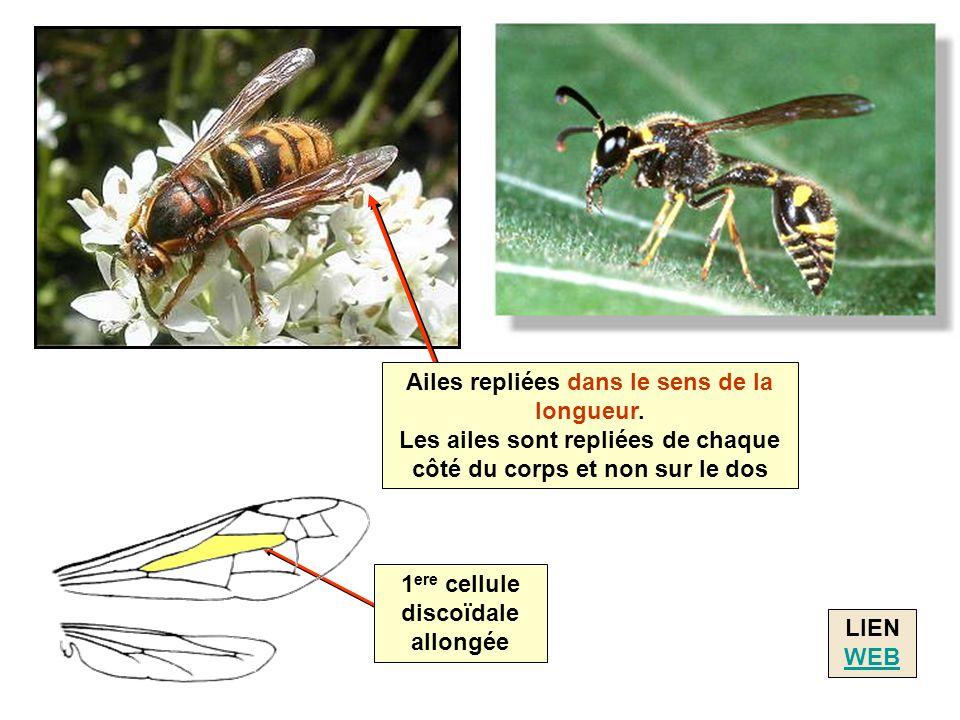 LIEN WEB WEB Ailes repliées dans le sens de la longueur. Les ailes sont repliées de chaque côté du corps et non sur le dos 1 ere cellule discoïdale al