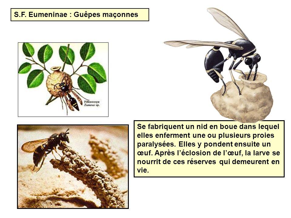 S.F. Eumeninae : Guêpes maçonnes Se fabriquent un nid en boue dans lequel elles enferment une ou plusieurs proies paralysées. Elles y pondent ensuite
