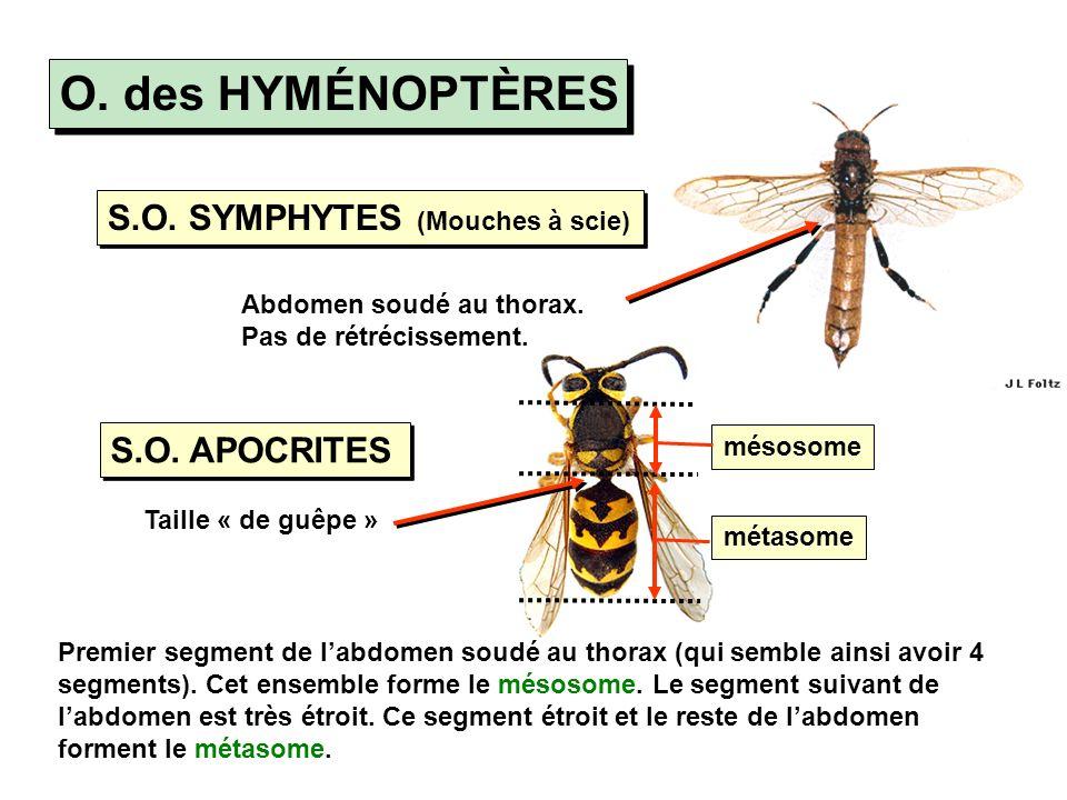 O. des HYMÉNOPTÈRES S.O. SYMPHYTES (Mouches à scie) S.O. APOCRITES Taille « de guêpe » Abdomen soudé au thorax. Pas de rétrécissement. Premier segment
