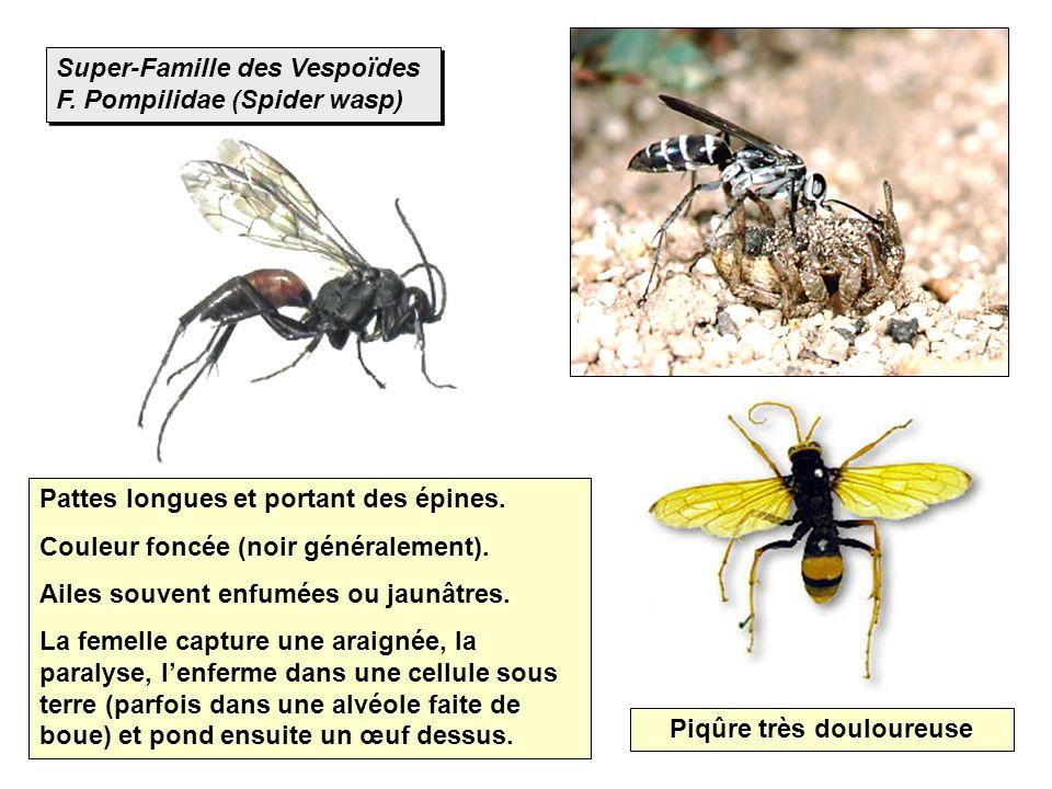 Super-Famille des Vespoïdes F. Pompilidae (Spider wasp) Pattes longues et portant des épines. Couleur foncée (noir généralement). Ailes souvent enfumé