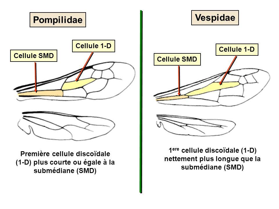 Vespidae Cellule 1-D Cellule SMD 1 ere cellule discoïdale (1-D) nettement plus longue que la submédiane (SMD) Pompilidae Cellule 1-D Cellule SMD Premi