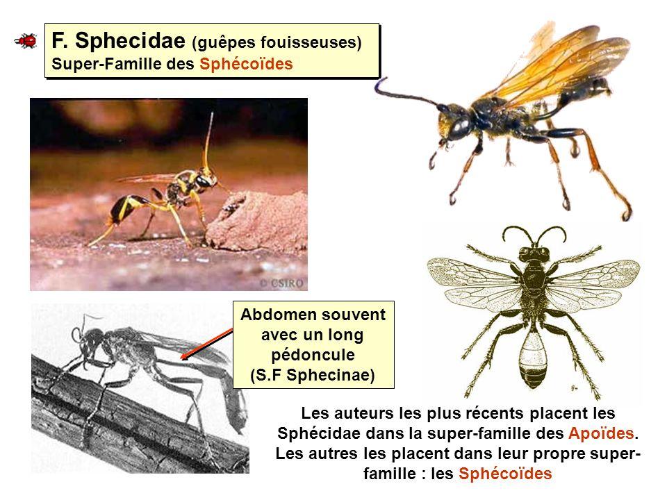 F. Sphecidae (guêpes fouisseuses) Super-Famille des Sphécoïdes Abdomen souvent avec un long pédoncule (S.F Sphecinae) Les auteurs les plus récents pla