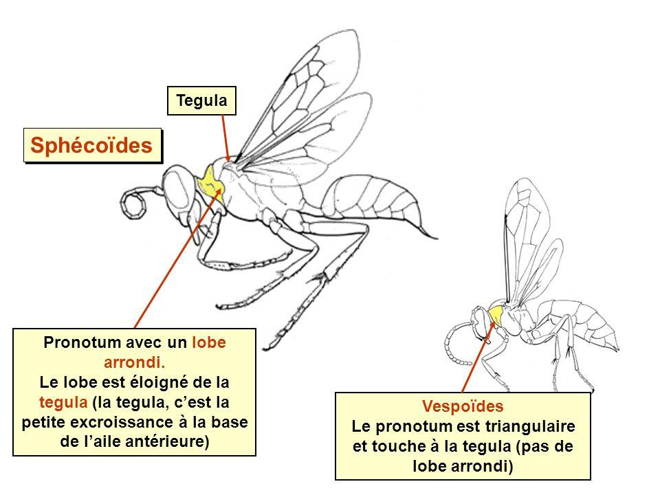 Pronotum avec un lobe arrondi. Le lobe est éloigné de la tegula (la tegula, cest la petite excroissance à la base de laile antérieure) Tegula Vespoïde