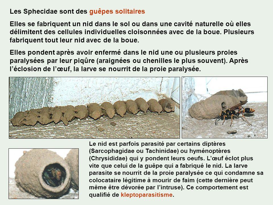 Les Sphecidae sont des guêpes solitaires Elles se fabriquent un nid dans le sol ou dans une cavité naturelle où elles délimitent des cellules individu