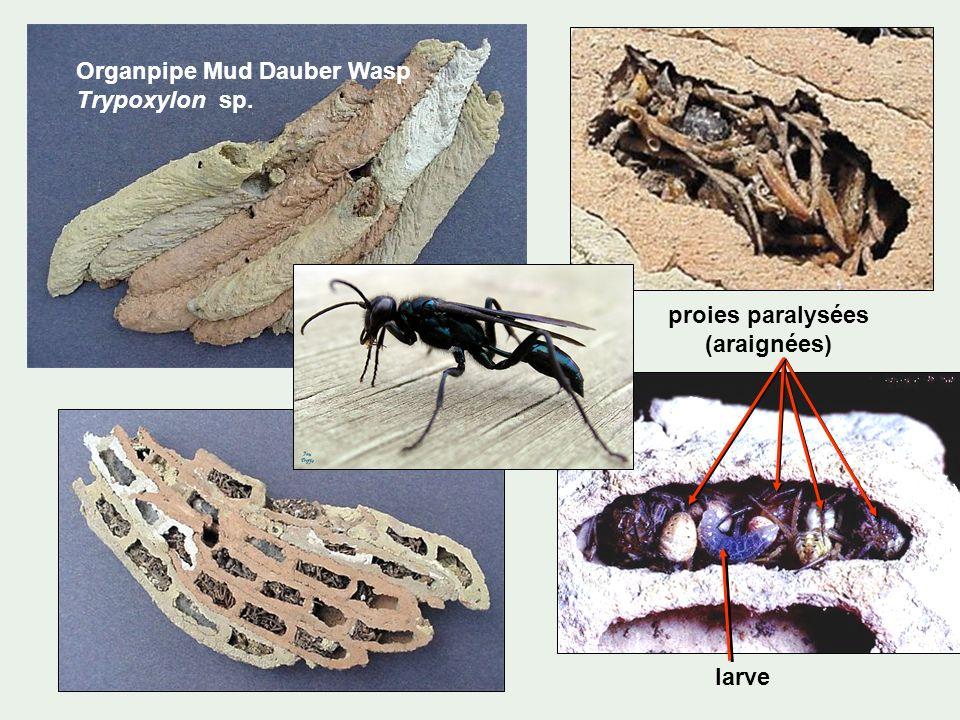 Organpipe Mud Dauber Wasp Trypoxylon sp. larve proies paralysées (araignées)