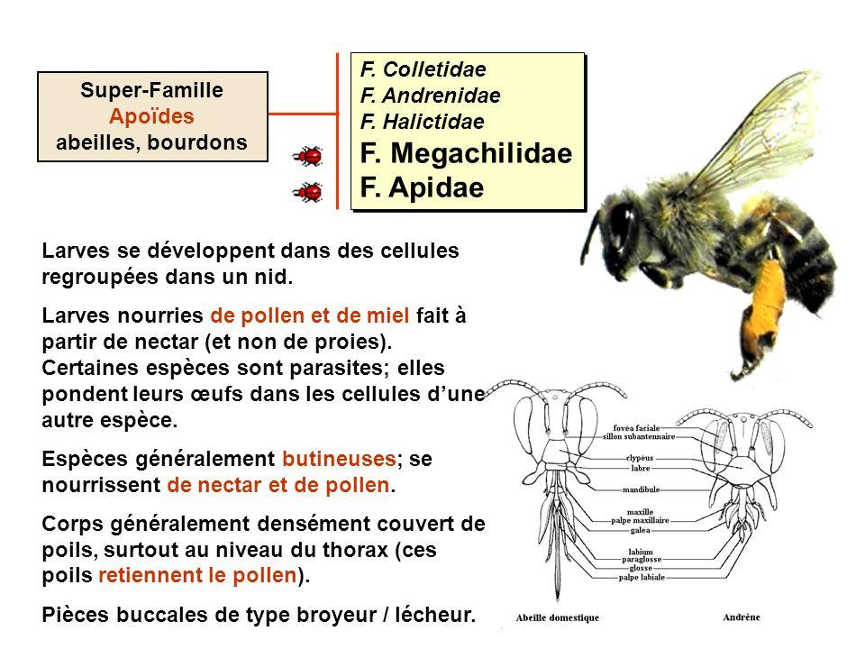 F. Colletidae F. Andrenidae F. Halictidae F. Megachilidae F. Apidae F. Colletidae F. Andrenidae F. Halictidae F. Megachilidae F. Apidae Super-Famille