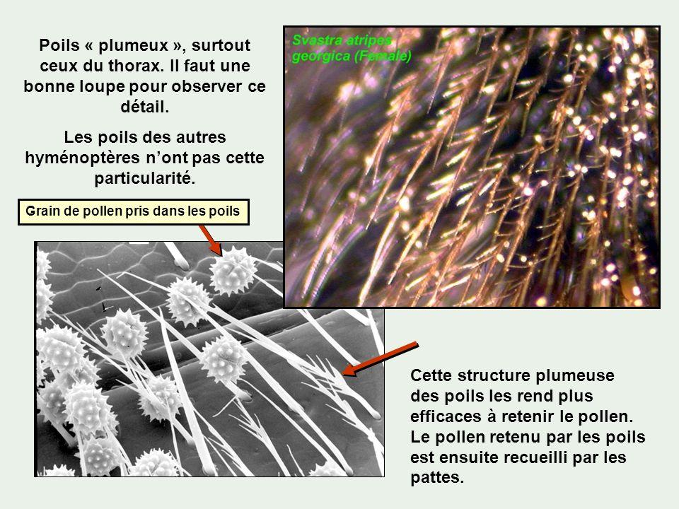 Poils « plumeux », surtout ceux du thorax. Il faut une bonne loupe pour observer ce détail. Les poils des autres hyménoptères nont pas cette particula