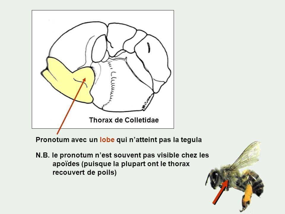 Pronotum avec un lobe qui natteint pas la tegula Thorax de Colletidae N.B. le pronotum nest souvent pas visible chez les apoïdes (puisque la plupart o