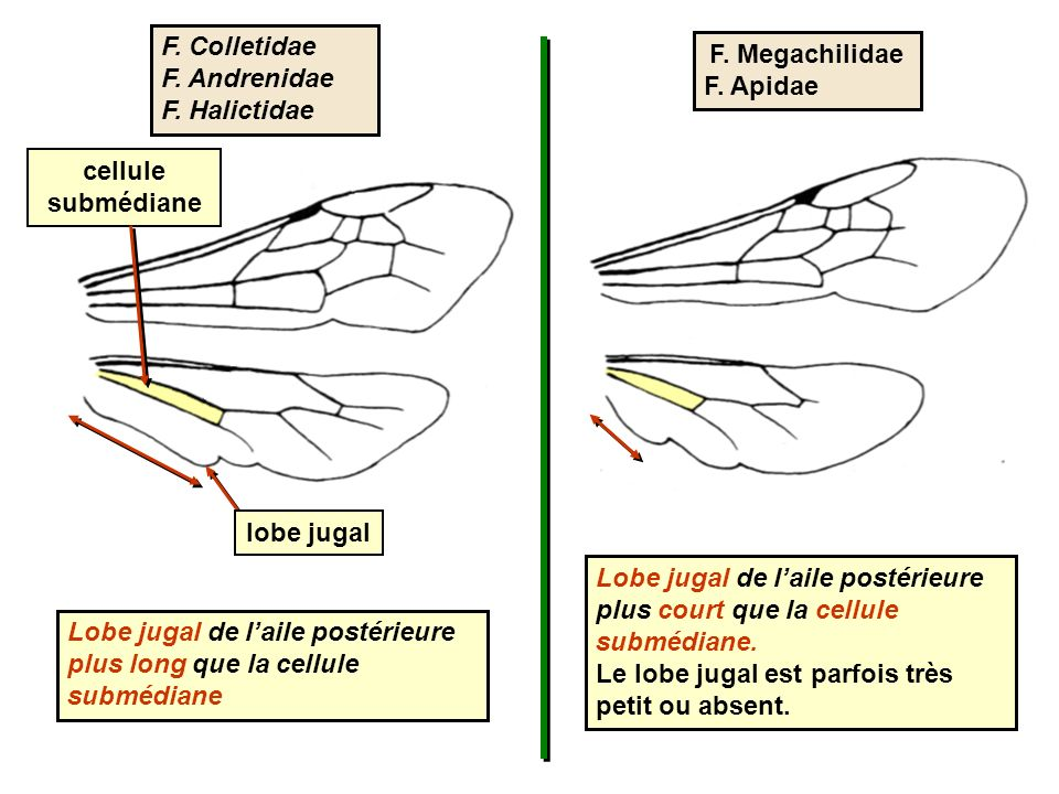 cellule submédiane lobe jugal Lobe jugal de laile postérieure plus long que la cellule submédiane Lobe jugal de laile postérieure plus court que la cellule submédiane.