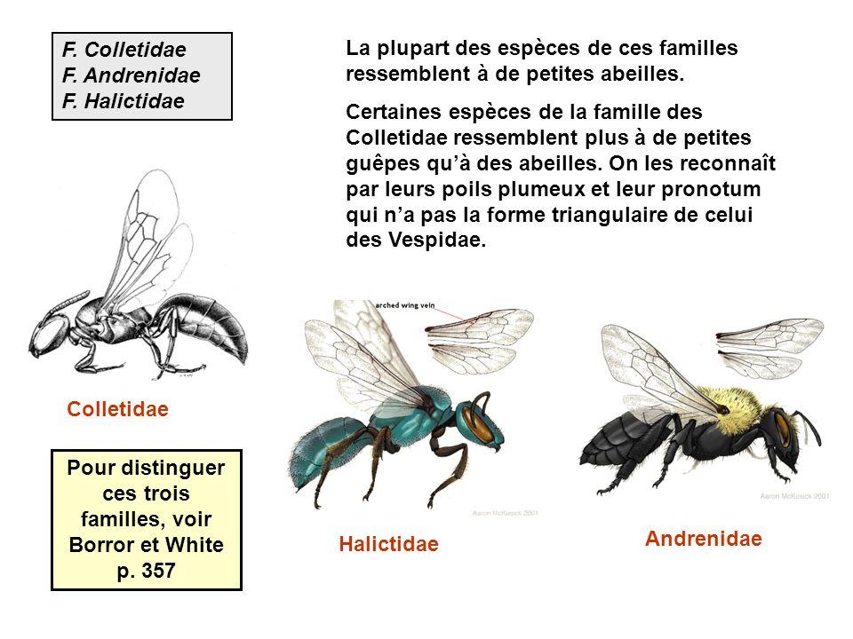 F. Colletidae F. Andrenidae F. Halictidae La plupart des espèces de ces familles ressemblent à de petites abeilles. Certaines espèces de la famille de