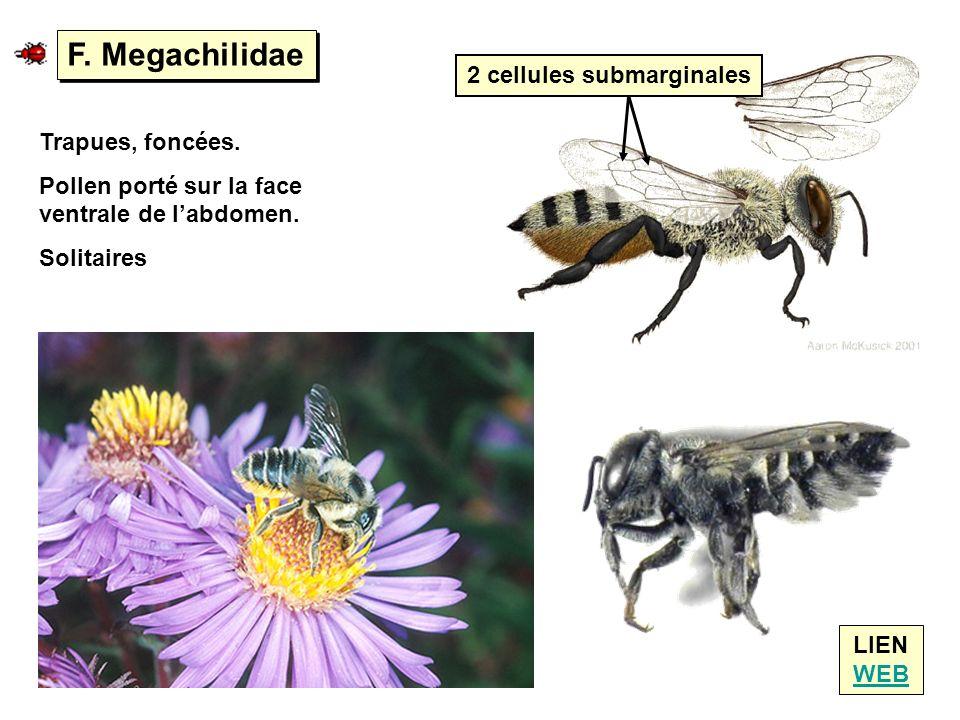 F. Megachilidae LIEN WEB WEB Trapues, foncées. Pollen porté sur la face ventrale de labdomen. Solitaires 2 cellules submarginales