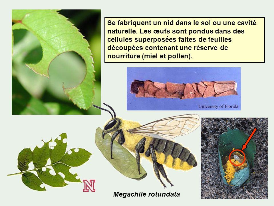 Se fabriquent un nid dans le sol ou une cavité naturelle. Les œufs sont pondus dans des cellules superposées faites de feuilles découpées contenant un