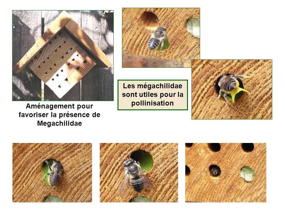 Aménagement pour favoriser la présence de Megachilidae Les mégachilidae sont utiles pour la pollinisation