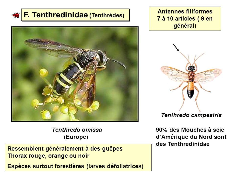 F. Tenthredinidae (Tenthrèdes) Tenthredo omissa (Europe) Tenthredo campestris Antennes filiformes 7 à 10 articles ( 9 en général) Ressemblent générale