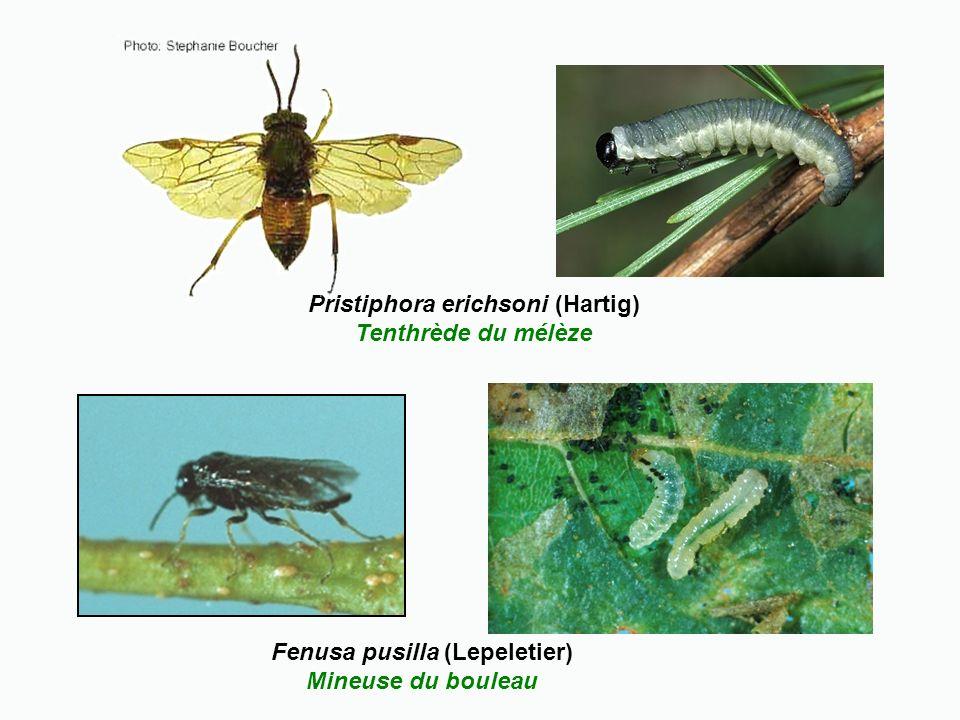 Pristiphora erichsoni (Hartig) Tenthrède du mélèze Fenusa pusilla (Lepeletier) Mineuse du bouleau
