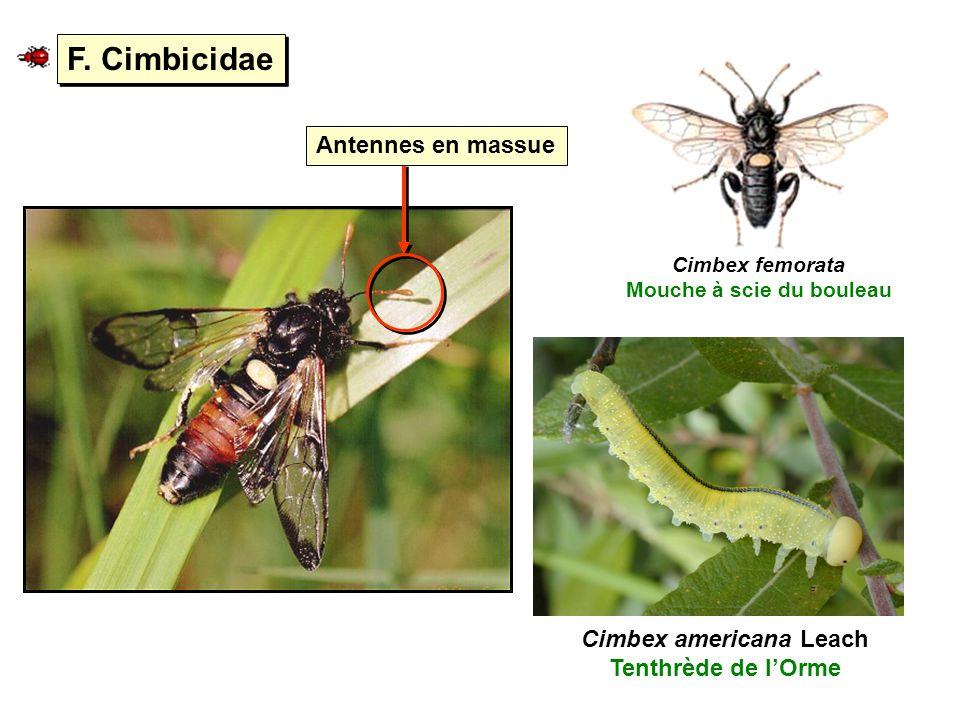 F. Cimbicidae Cimbex femorata Mouche à scie du bouleau Cimbex americana Leach Tenthrède de lOrme Antennes en massue
