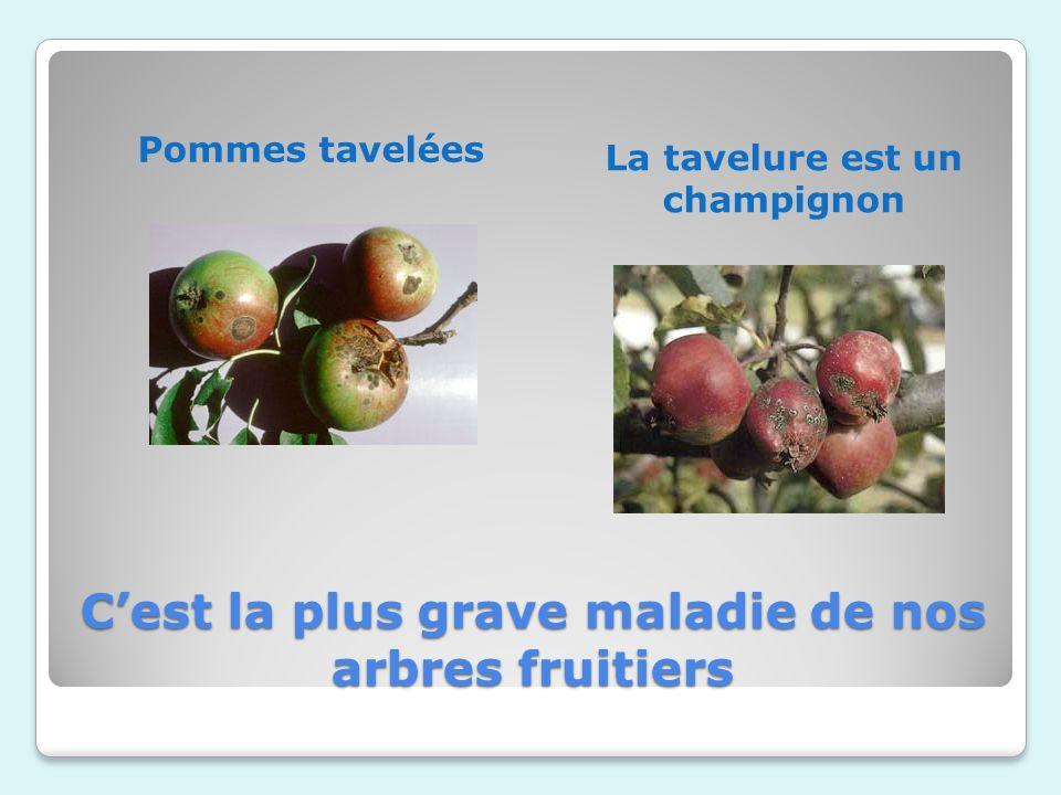 Cest la plus grave maladie de nos arbres fruitiers La tavelure est un champignon Pommes tavelées