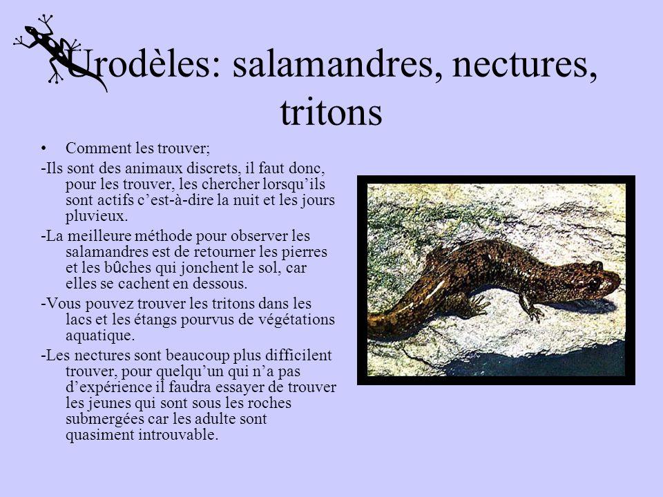 Urodèles: salamandres, nectures, tritons Les urodèles adulte sont des amphibiens aux corps allongés, munies de 4 pattes courtes et dune queue. Leurs y