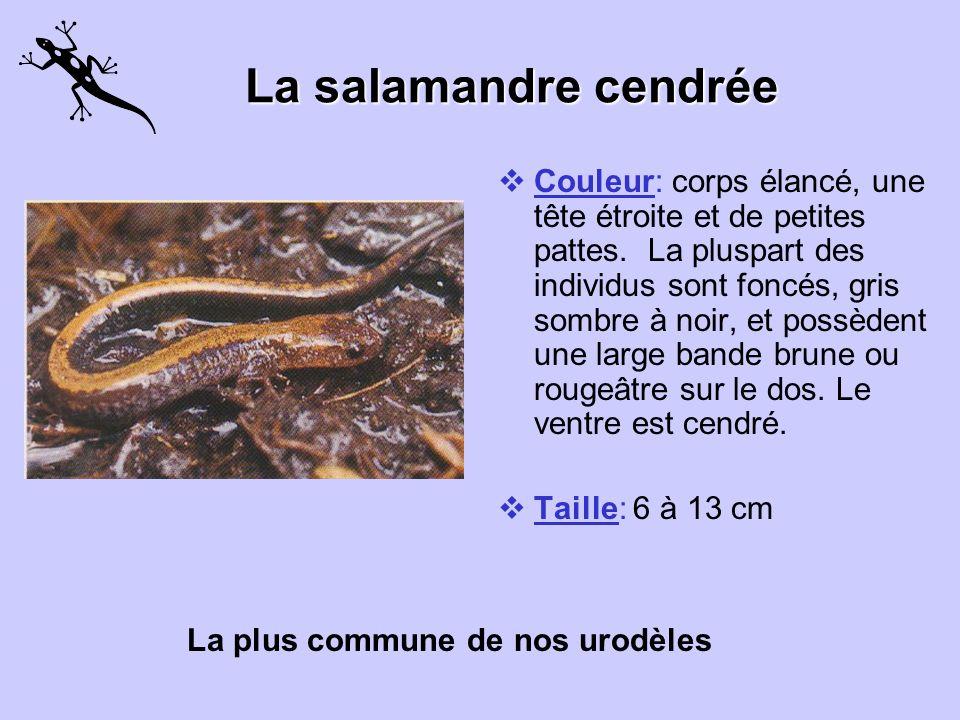Couleur: cette salamandre noire tirant sur le bleu à de nombreux grands points bleu pâle sur les côtés, la queue et les pattes. Particularités: orteil