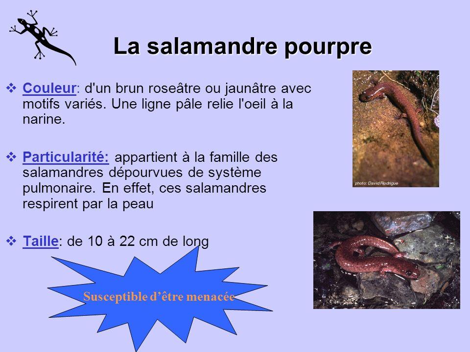 Lasalamandreà quatre orteils La salamandre à quatre orteils Cest la plus rare des salamandres. Elle est petite et timide. Elle est donc difficile à re
