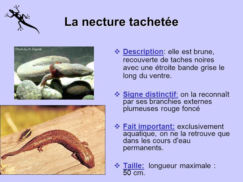 La salamandre sombre du Nord Couleur: elle est très peu coloré. Elle est brune ou grise, sans motif distinct. Particularité: elle a des pattes arrière