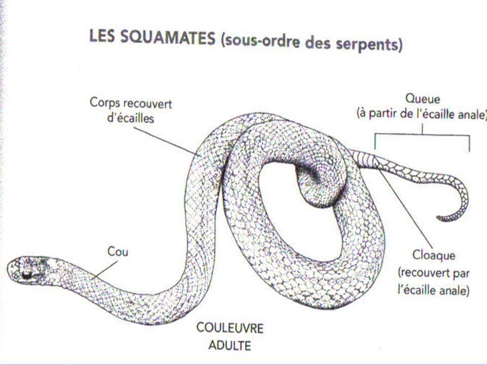 Squamates: couleuvres Les serpents sont dépourvus de pattes. La forme de leurs corps à donc apportée des adaptations anatomiques: -Formes allongées de