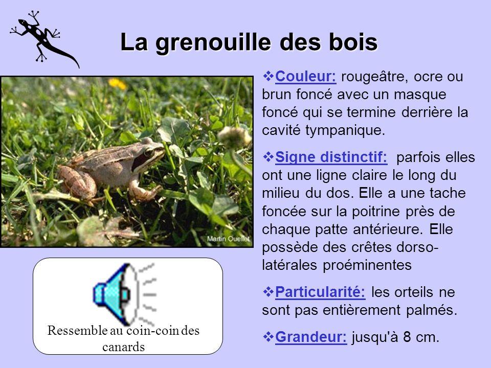 La grenouille verte Couleur: verte, bronze, brune ou une combinaison de ces couleurs. Signe distinctif: sa lèvre supérieur est habituellement verte, l