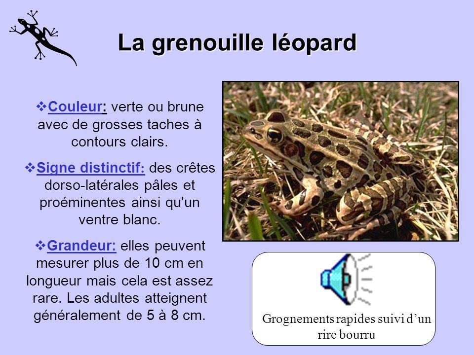 La grenouille des marais Couleur: elle a des crêtes dorso-latérales jaunes proéminentes et son ventre ainsi que les faces antérieures de ses pattes po