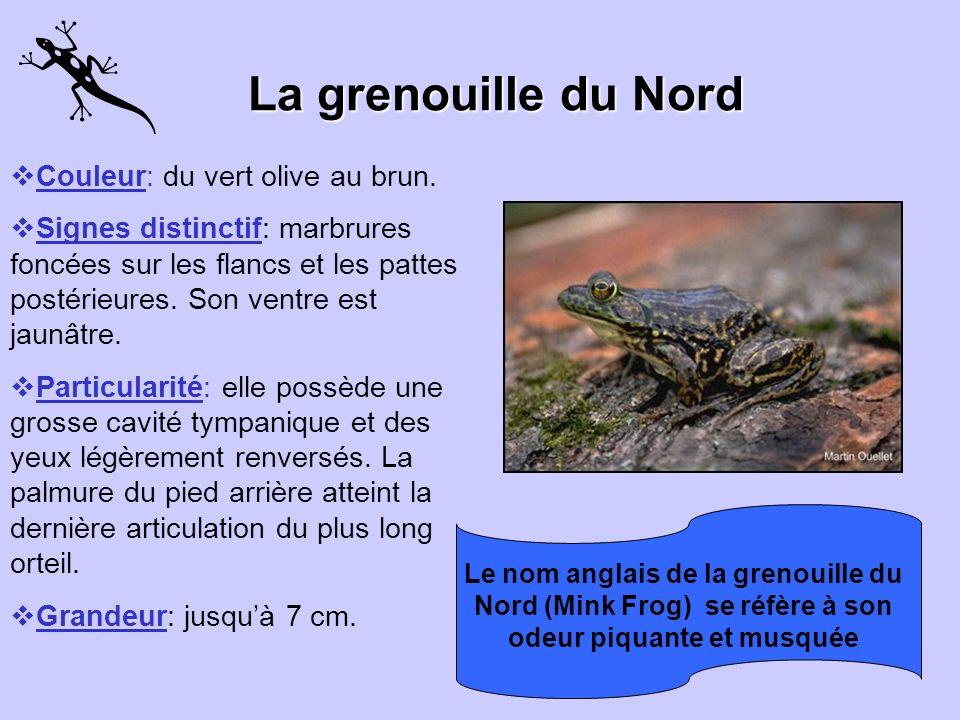 La grenouille léopard Couleur: verte ou brune avec de grosses taches à contours clairs. Signe distinctif : des crêtes dorso-latérales pâles et proémin