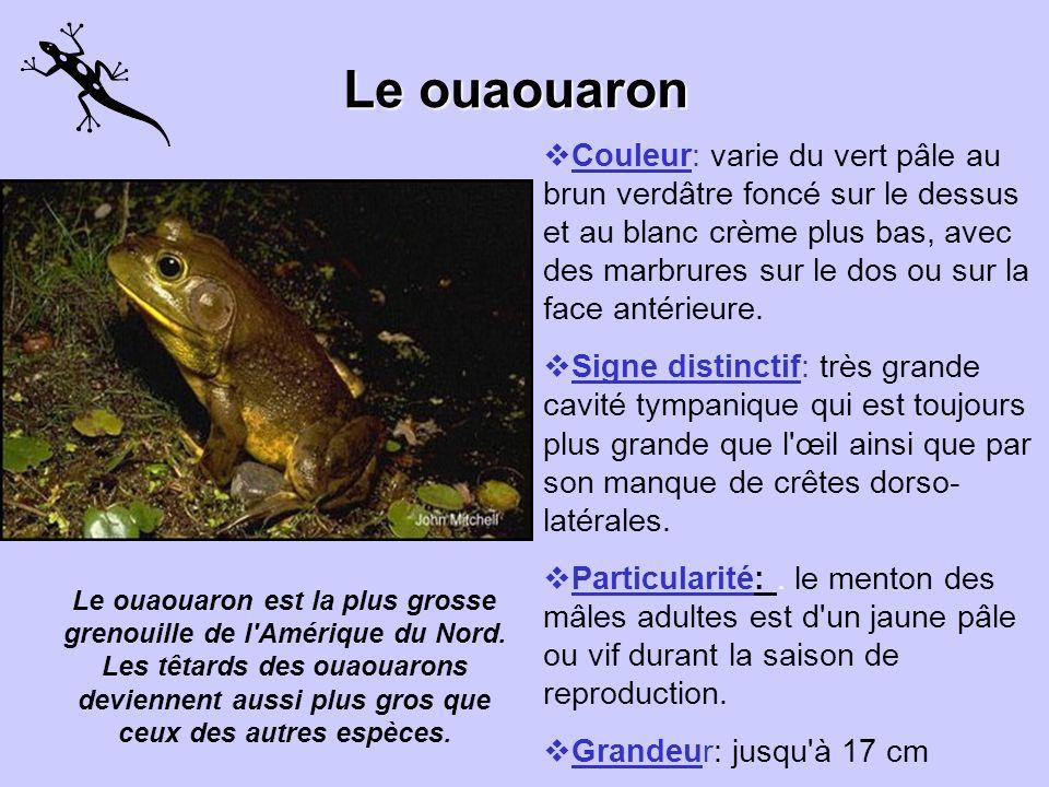 Le crapaud dAmérique couleur: brune, rougeâtre ou olivâtre. signe distinctif: elle possède des taches et des glandes cutanées de couleurs variées, pos