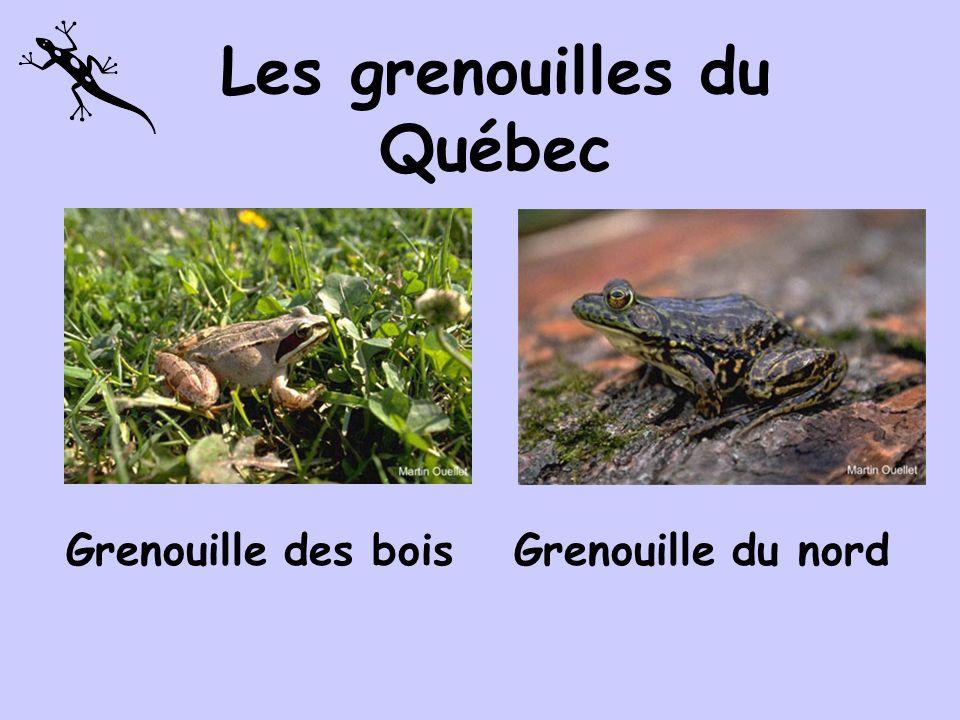 Les grenouilles du Québec Grenouille des maraisGrenouille verte