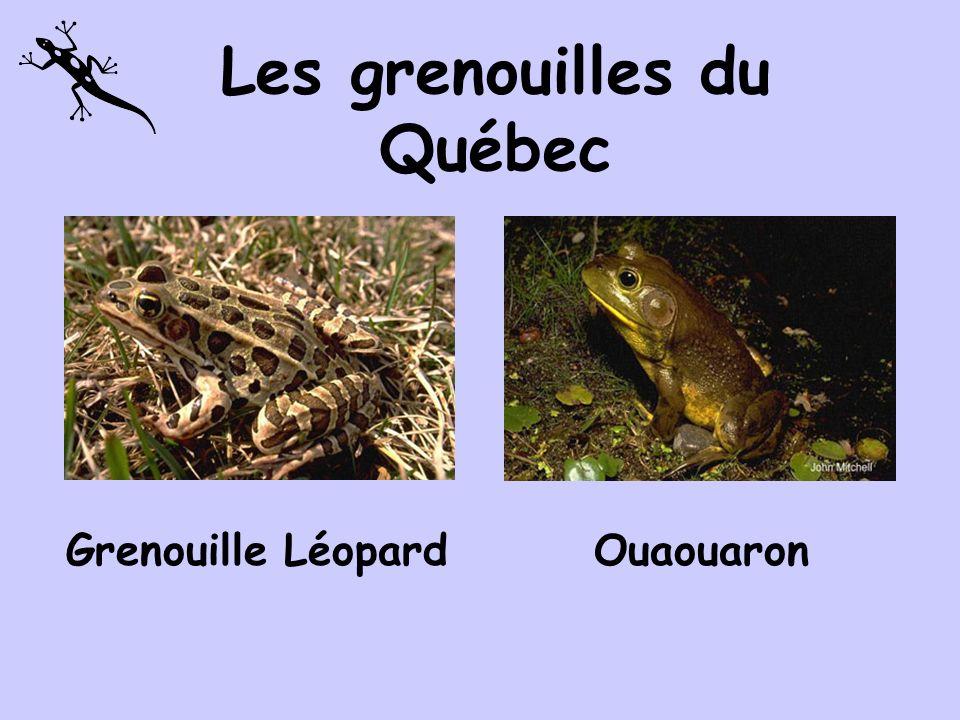 Les grenouilles du Québec Grenouille des boisGrenouille du nord