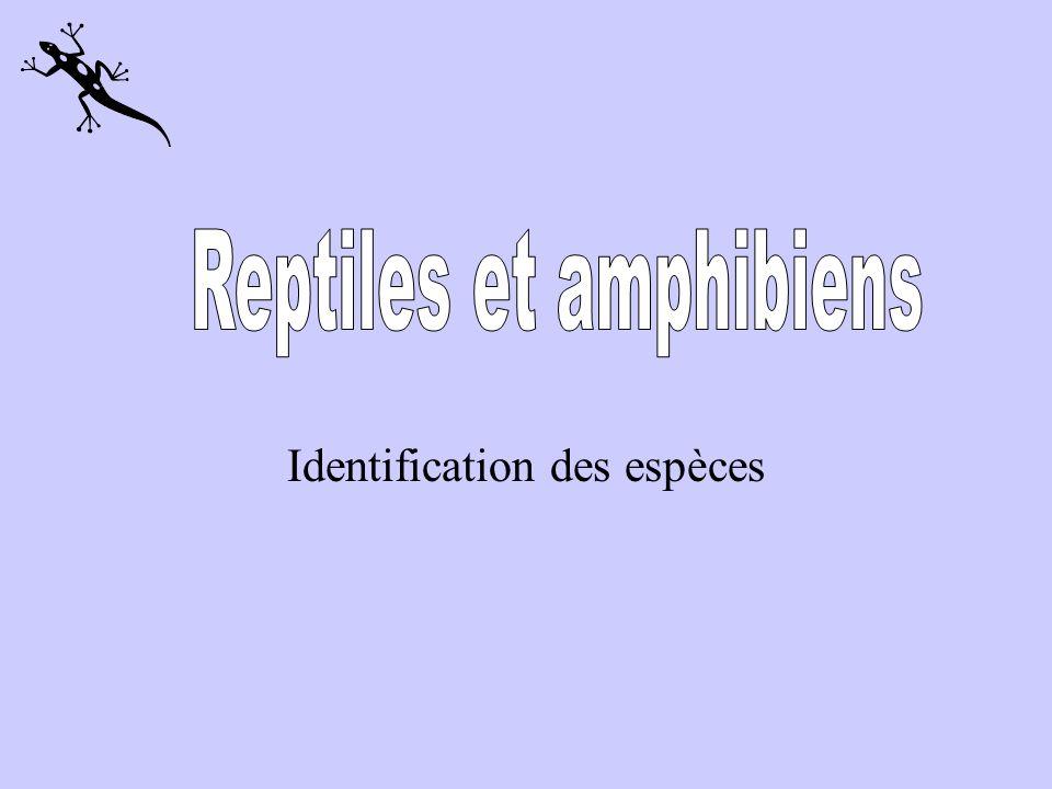 La grenouille des bois Couleur: rougeâtre, ocre ou brun foncé avec un masque foncé qui se termine derrière la cavité tympanique.