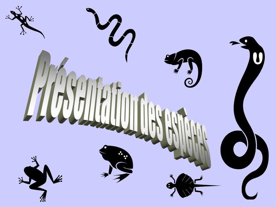 Squamates: couleuvres Les serpents sont dépourvus de pattes.