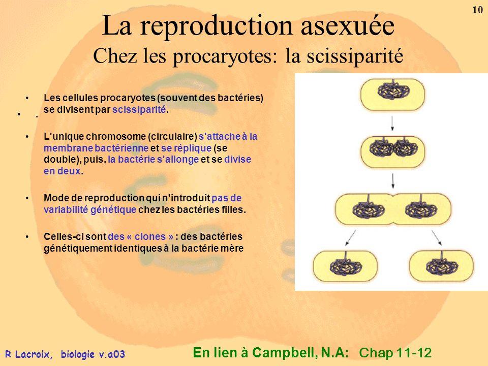 En lien à Campbell, N.A: 10 R Lacroix, biologie v.a03 La reproduction asexuée Chez les procaryotes: la scissiparité Les cellules procaryotes (souvent
