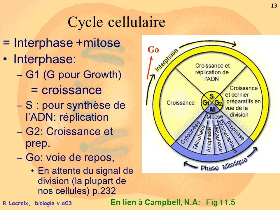 En lien à Campbell, N.A: 13 R Lacroix, biologie v.a03 Cycle cellulaire = Interphase +mitose Interphase: –G1 (G pour Growth) = croissance –S : pour syn