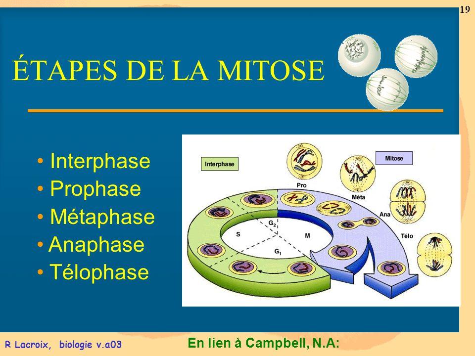 En lien à Campbell, N.A: 19 R Lacroix, biologie v.a03 Interphase Prophase Métaphase Anaphase Télophase ÉTAPES DE LA MITOSE