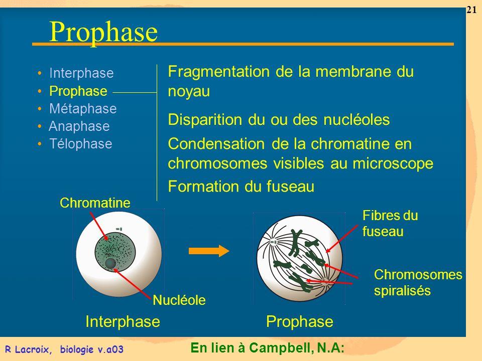 En lien à Campbell, N.A: 21 R Lacroix, biologie v.a03 Interphase Prophase Métaphase Anaphase Télophase Formation du fuseau InterphaseProphase Fibres d