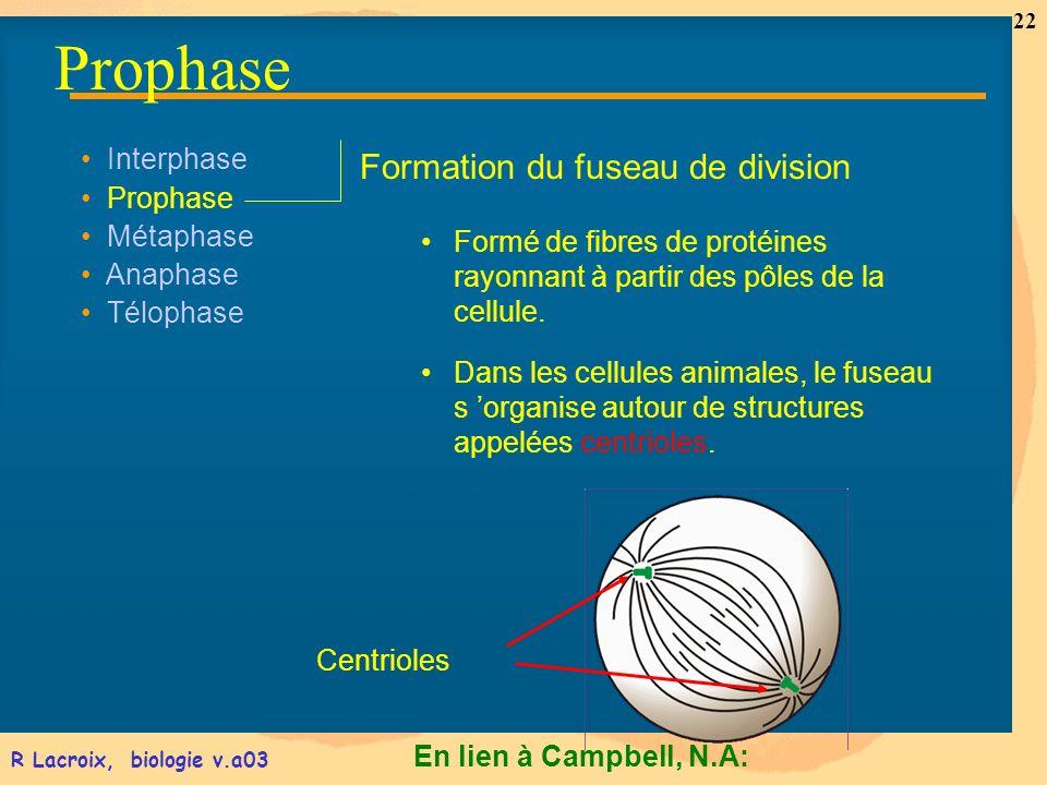 En lien à Campbell, N.A: 22 R Lacroix, biologie v.a03 Interphase Prophase Métaphase Anaphase Télophase Formation du fuseau de division Formé de fibres