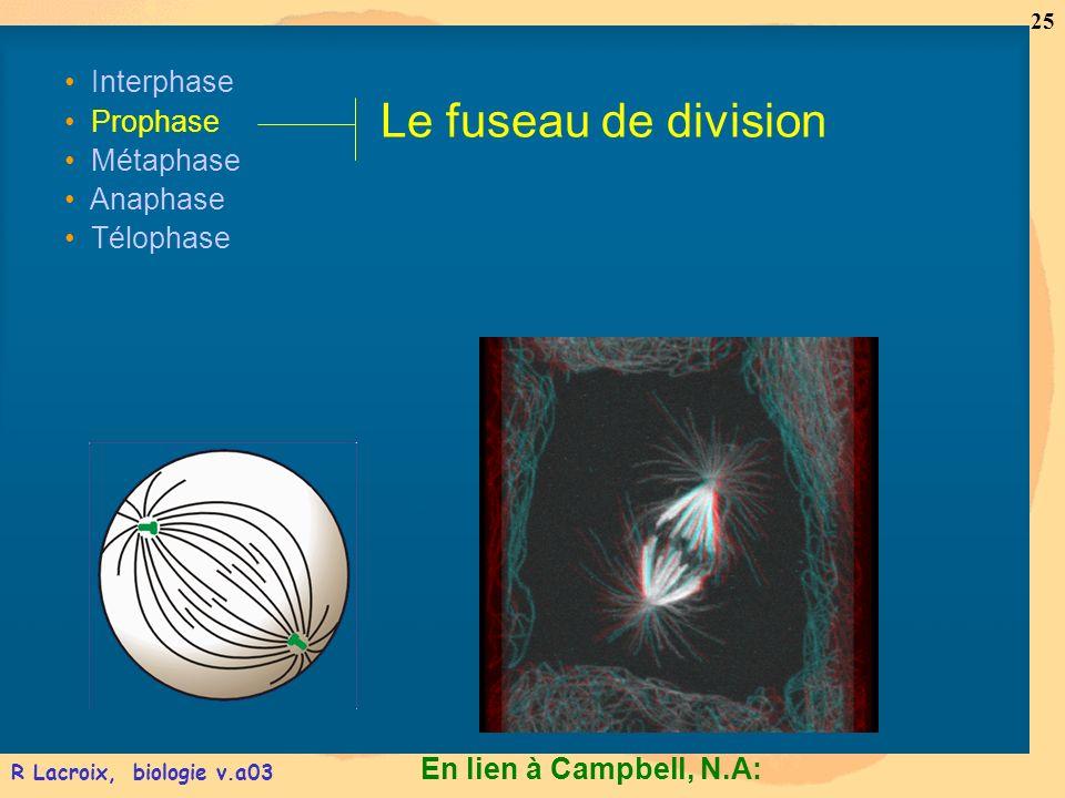 En lien à Campbell, N.A: 25 R Lacroix, biologie v.a03 Interphase Prophase Métaphase Anaphase Télophase Le fuseau de division