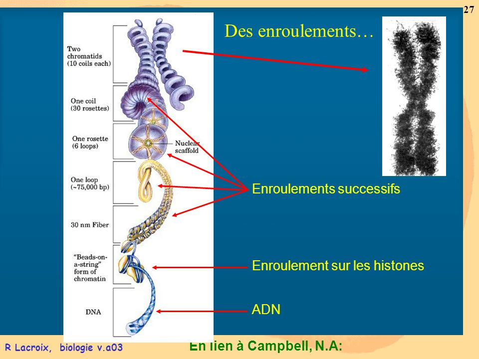 En lien à Campbell, N.A: 27 R Lacroix, biologie v.a03 Enroulements successifs ADN Enroulement sur les histones Des enroulements…