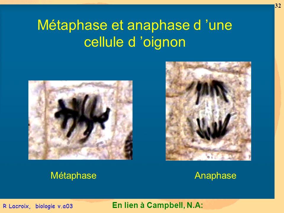 En lien à Campbell, N.A: 32 R Lacroix, biologie v.a03 MétaphaseAnaphase Métaphase et anaphase d une cellule d oignon