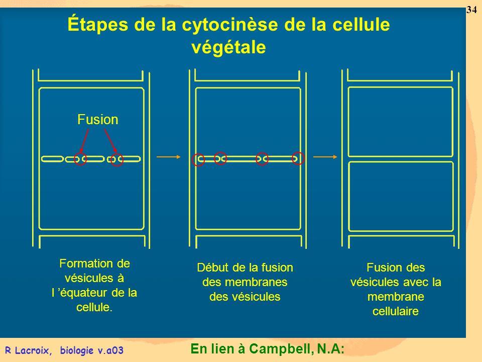 En lien à Campbell, N.A: 34 R Lacroix, biologie v.a03 Formation de vésicules à l équateur de la cellule. Début de la fusion des membranes des vésicule