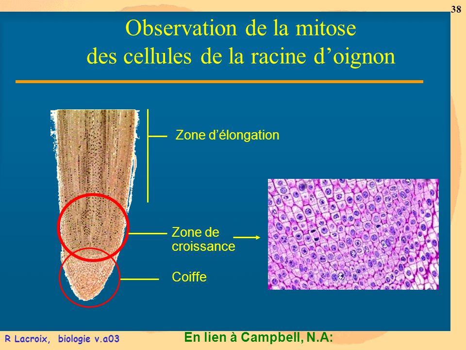 En lien à Campbell, N.A: 38 R Lacroix, biologie v.a03 Zone délongation Zone de croissance Coiffe Observation de la mitose des cellules de la racine do