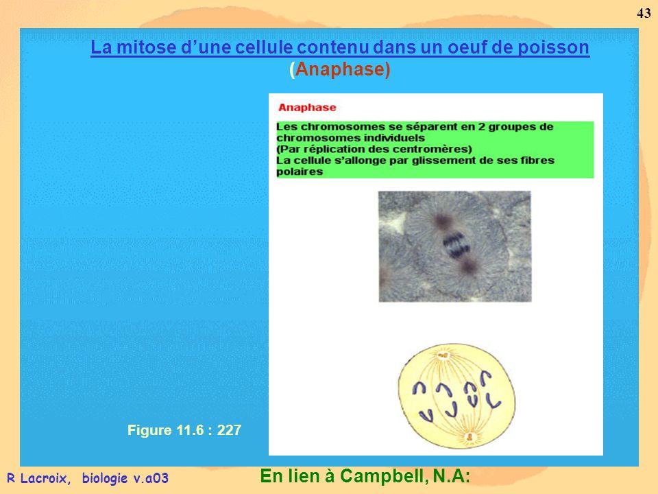 En lien à Campbell, N.A: 43 R Lacroix, biologie v.a03 Figure 11.6 : 227 La mitose dune cellule contenu dans un oeuf de poisson (Anaphase)