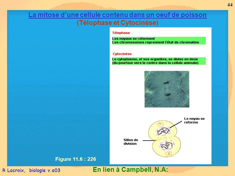 En lien à Campbell, N.A: 44 R Lacroix, biologie v.a03 Figure 11.6 : 226 La mitose dune cellule contenu dans un oeuf de poisson (Télophase et Cytocinès